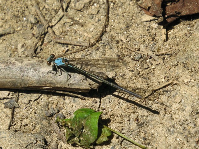 Blue-fronted Dancer, Argia apicalis