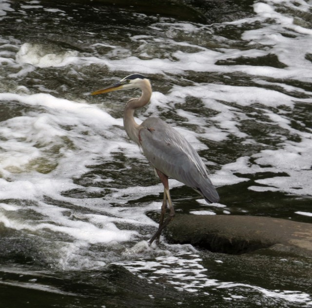 Great Blue Heron - Bryan Park, VA - by Ethan