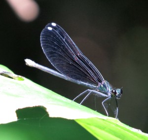 White spots on her wing tips - so feminine