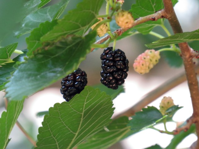 A delicious mulberry. Looks like a blackberry but no thorns, plus tastes much different.