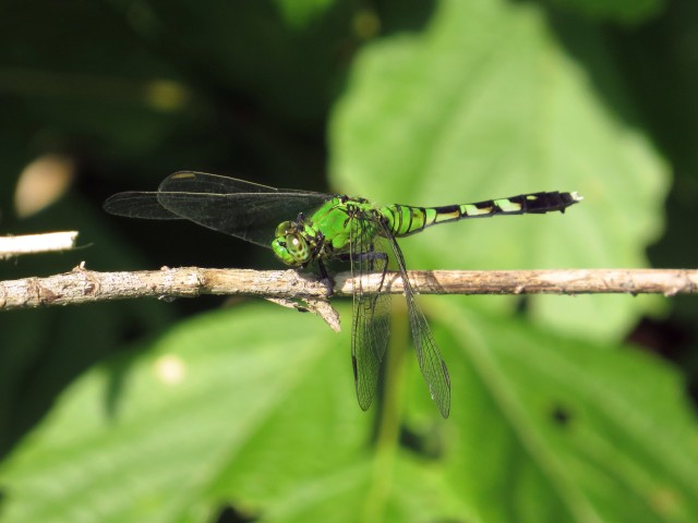 Eastern Pondhawk - magnificent