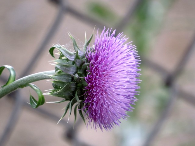 Thistle by the train tracks