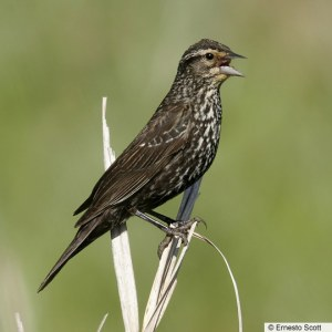 Adult female Red-winged Blackbird - BNA.com