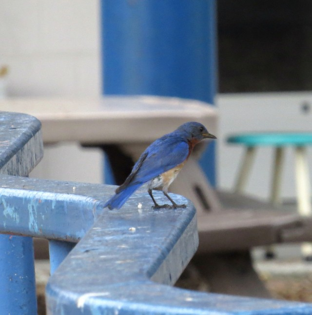 Bluebird on a blue rail