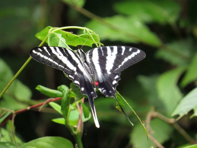 Zebra swallowtail. What an amazing beauty.