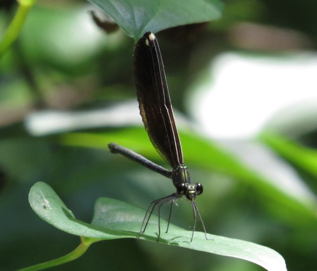 Female Ebony Jewelwing. So pretty.
