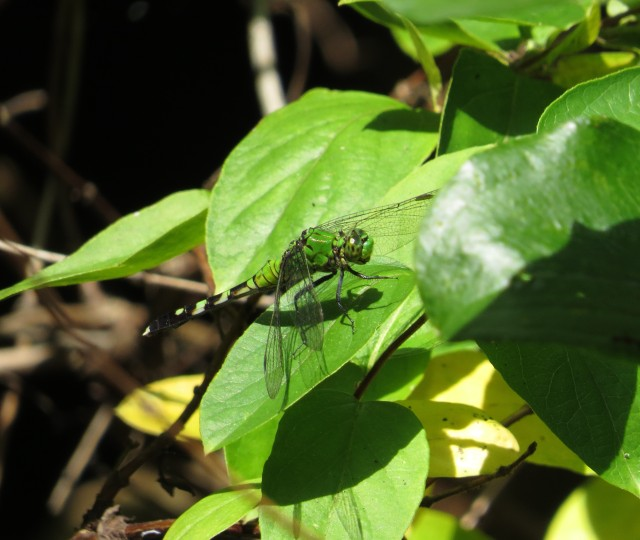 Eastern Pondhawk. Isn't that a great looking insect?