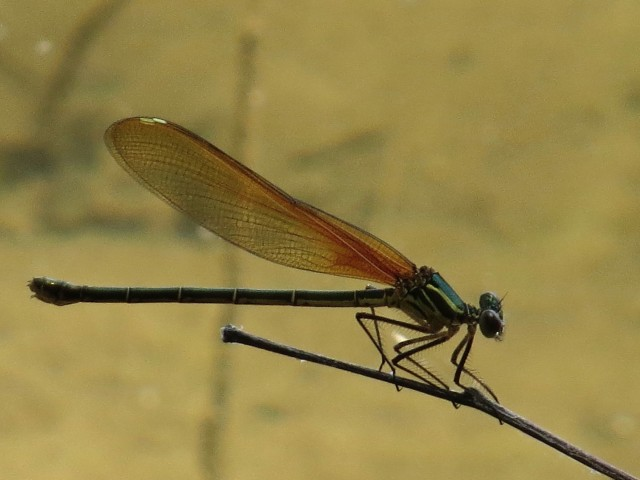A striking new damselfly