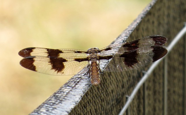 Female Common Whitetail Skimmer, pausing