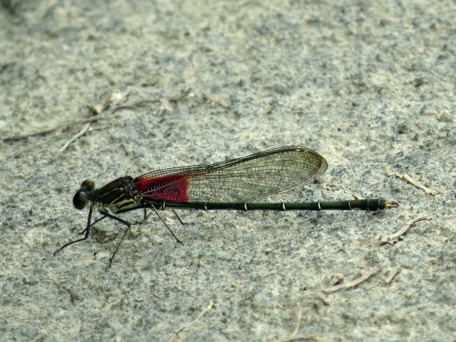 I don't get tired of these damselflies. There are so many.