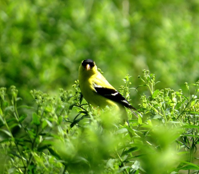 Gazing goldfinch