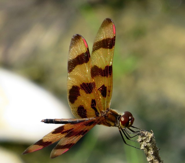 """""""Halloween Pennant"""" - great looking name for a great looking insect. Open freshwater mussel shell in the background."""