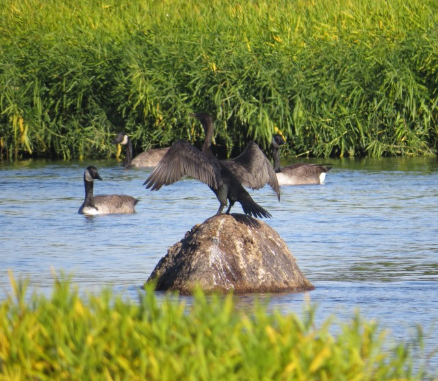 Cormorant drying its wings (maybe)