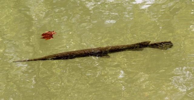 Longnose gar swimming in the canal behind Starbucks River Road