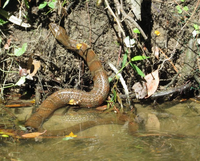 Northern Water Snake, climbing out of the creek