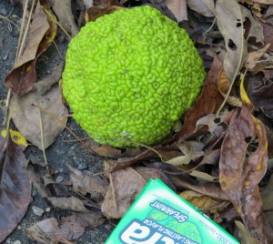 For those who do not recall what an Osage Orange looks like.