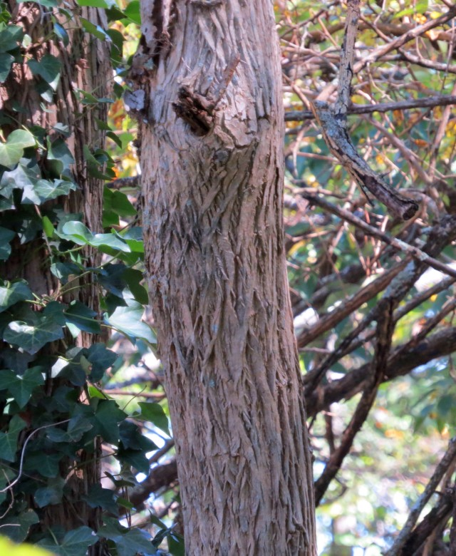 The bark of an Osage Orange tree. Now perhaps I can locate the tree itself at Pony Pasture. Stay tuned.