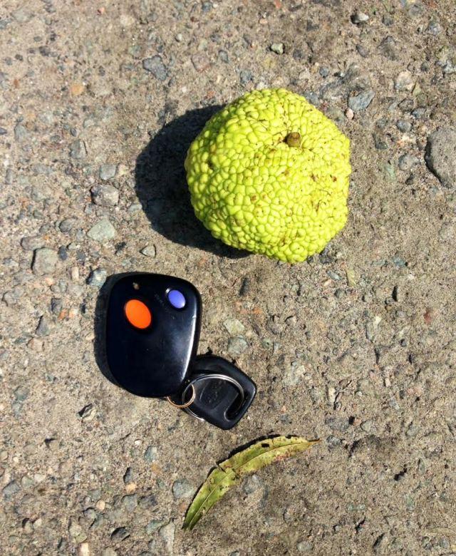 Smallest Osage Orange I've ever seen. In the parking lot at Pony Pasture.