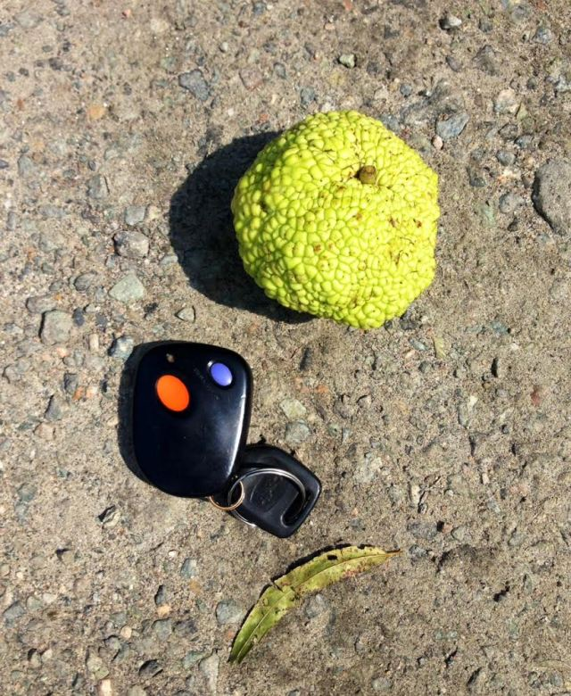 Smallest Osage Orange I've ever seen. In the parking lot at Pony Pasture.
