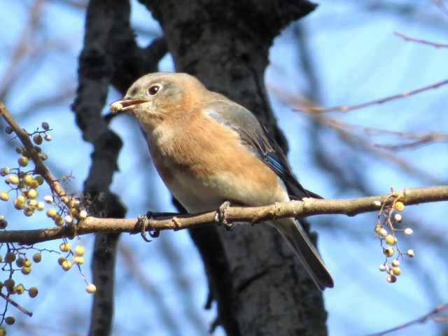 More bluebirds at Pony Pasture - yay!