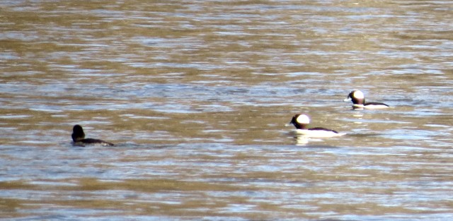 My bufflehead pictures are never great. But that is a winter-only picture. Buffleheads in VA are cold-weather birds.