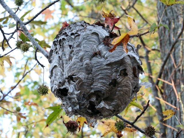Hornet's nest in a sweet gum tree