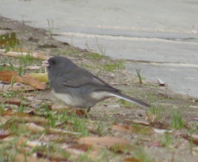 Juncos are sweet little winter birds. Cute and sweet and cheerful.