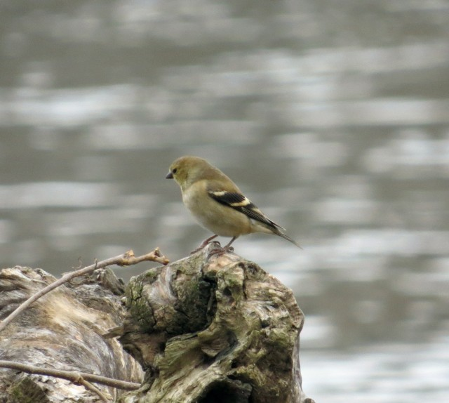 Could this be a female goldfinch in winter attire? It wasn't a very gold-finchy spot. Nice looking bird though.