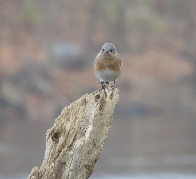Another bluebird! First thing we saw at Pony Pasture today!