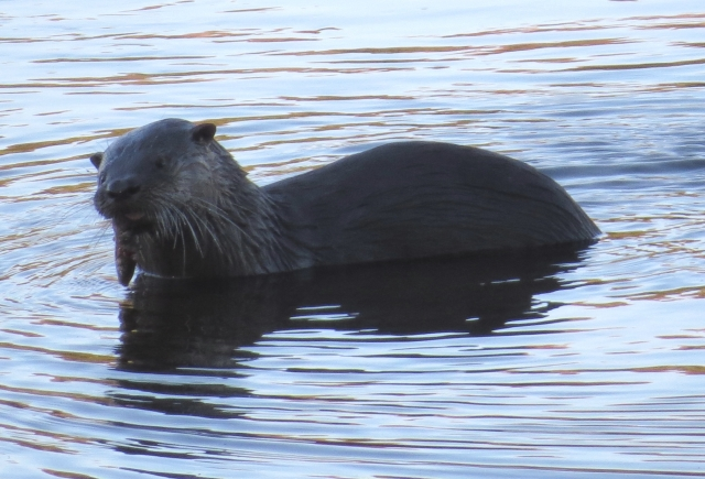 We saw a North American River Otter! Inside Richmond city limits!