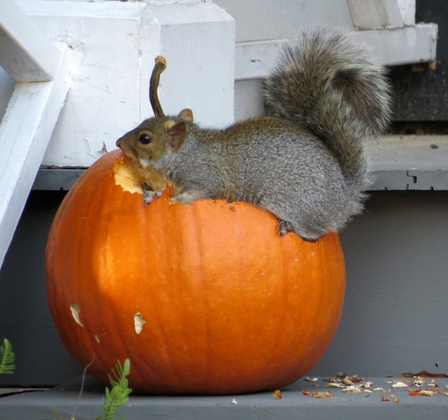 The squirrel that started the environmentally friendly pumpkin carving revolution