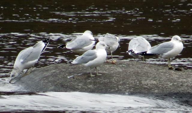 Cluster of Ring-billed gulls