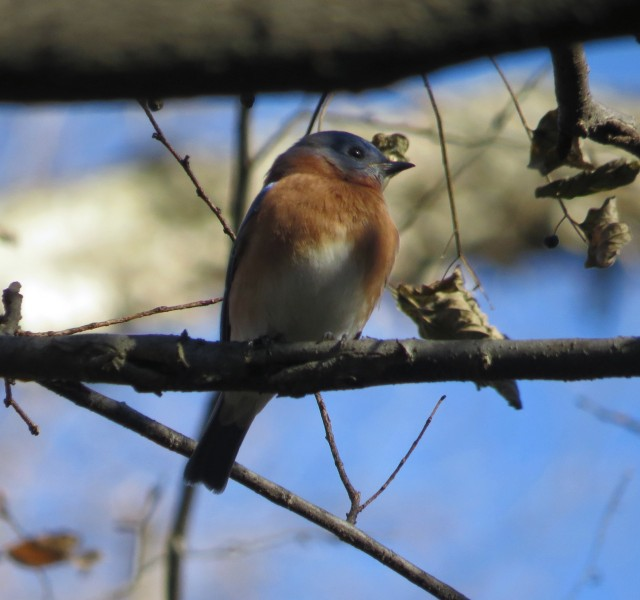 I know this comes as no  surprise - I will NEVER tire of photographing bluebirds