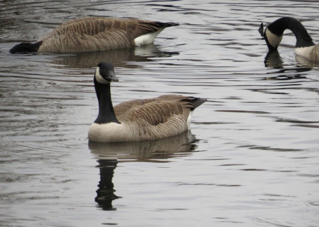 I should be more open-minded. I am not the world's biggest fan of Canada geese.