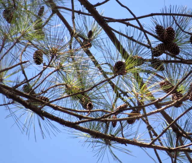 Needles and cones of a Loblolly pine