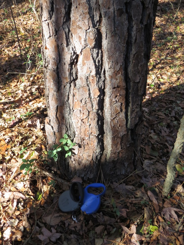 The bark and trunk of a Loblolly pine, with dog leashes for scale. This one is medium-large.