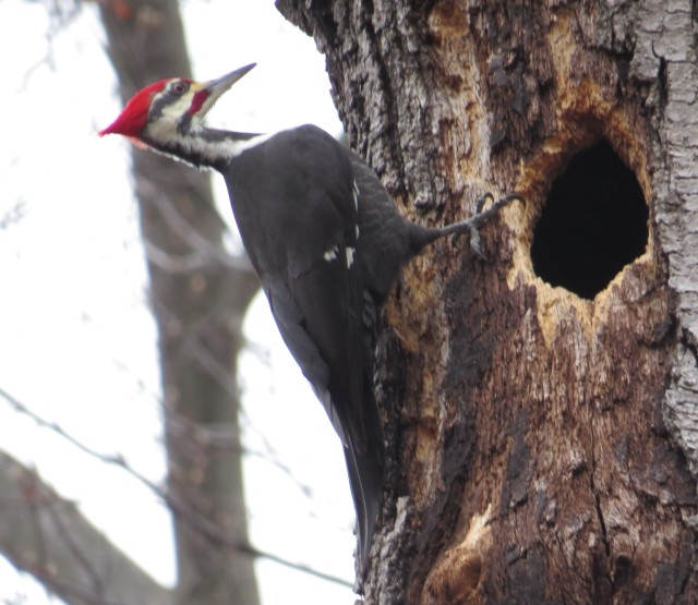 Male Pileated woodpecker again - I was so fortunate to get these shots