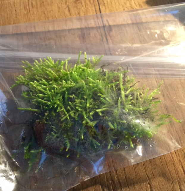 As-yet-unidentified bryophyte in low-cost mobile terrarium: