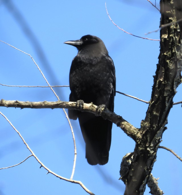 Crow in the sun