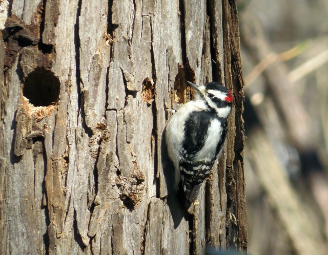 Handsome male Downy woodpecker (Picoides pubescens)