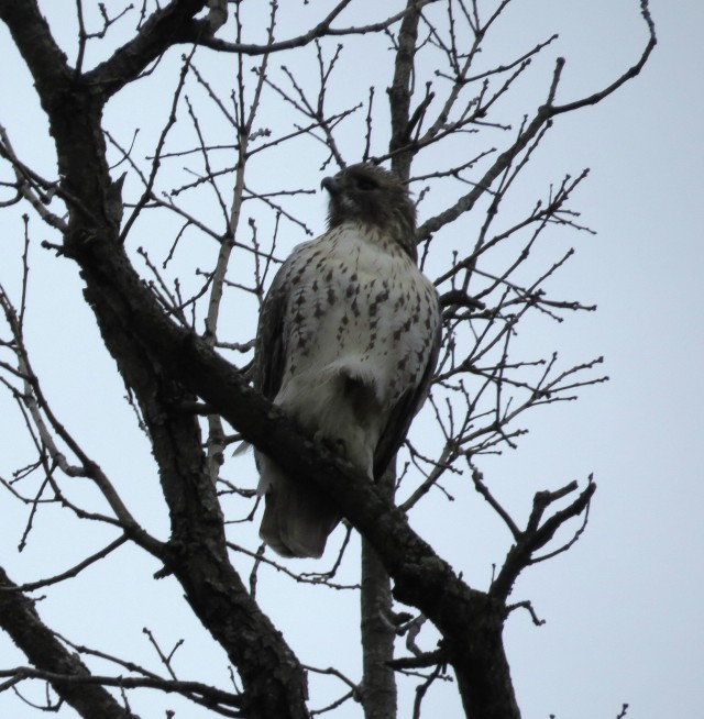 Red-tail hawk - Bryan Park - Richmond, VA - photo by ETHAN!