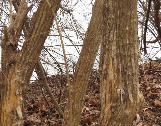 Bush honeysuckle (Lonicera maakii or Lonicera morrowii)