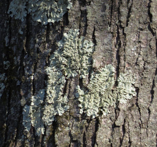Lichen on tree bark at Pony Pasture