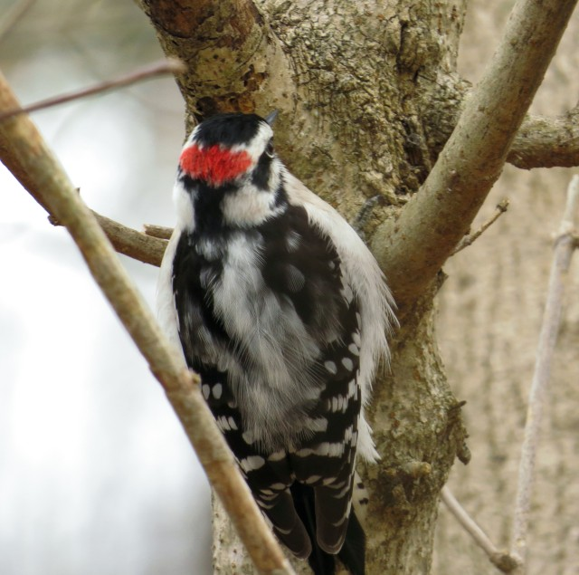 Male Downy woodpecker. He's a sharp looking little dude isn't he?