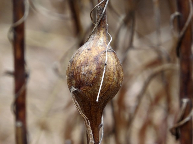 A goldenrod gall - with a goldenrod gallfly larva inside - if a bird hasn't already eaten it!