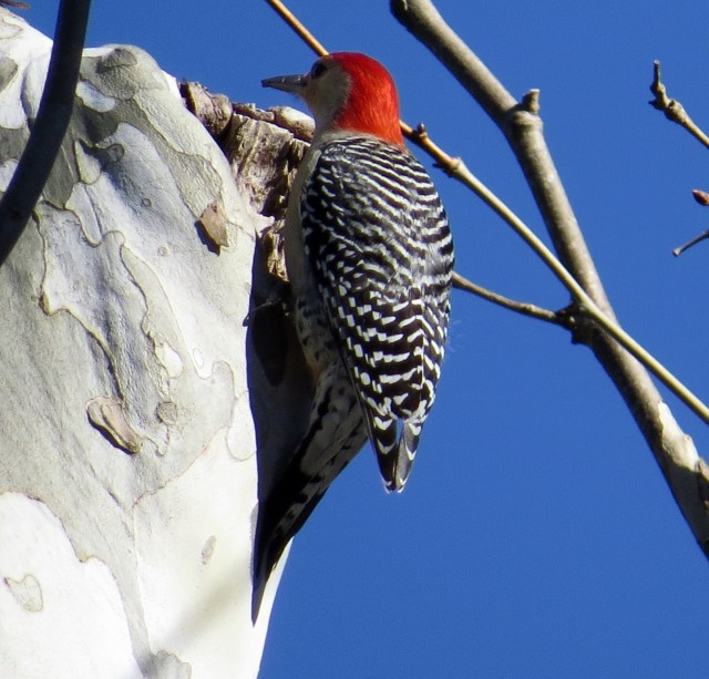 Male Red-bellied woodpecker, investigating the cranny the bluebirds had just investigated