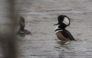 Male merganser strutting his stuff. Female slightly visible on the left.