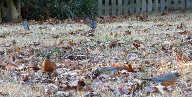 A small sliver of a yard filled with robins.