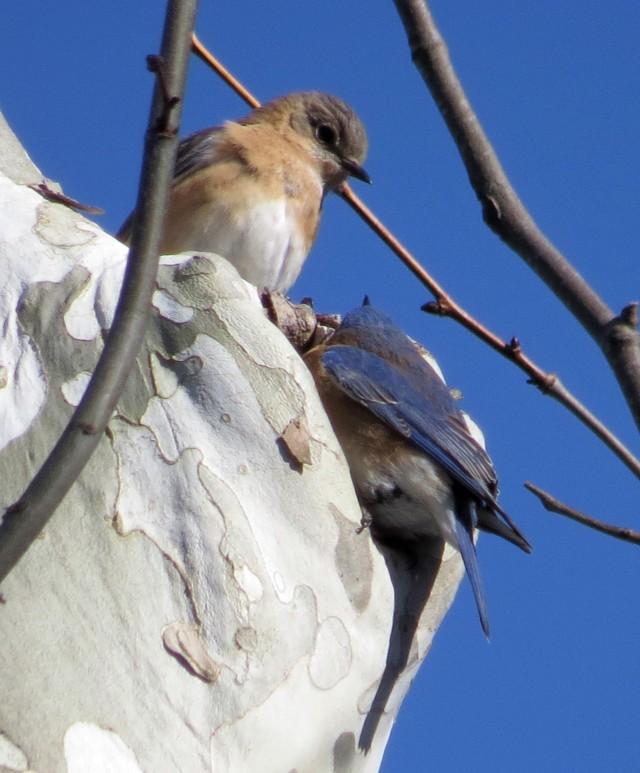 Pair of bluebirds investigating a cranny