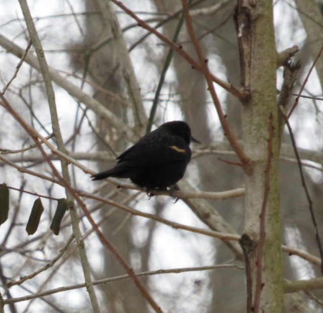 Glimpse of a Red-winged blackbird (sorry about the poor quality)